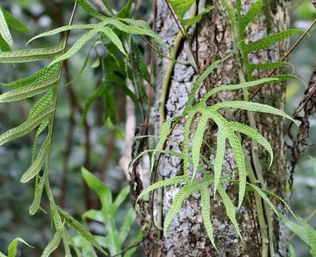 Phymatosorus scolopendria. Patte lézard.