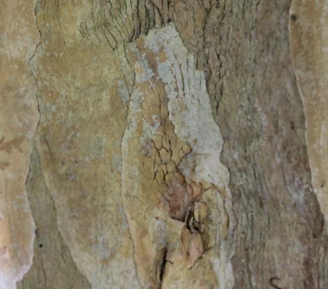 Pimenta racemosa (Mill.) J.W.Moore.