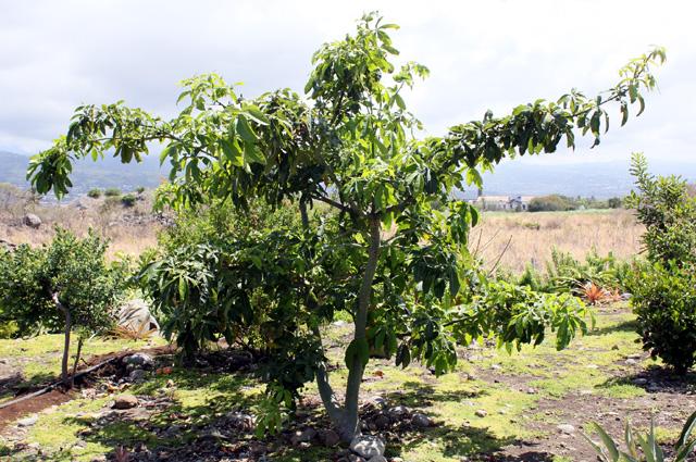 Feuilles pistache arbuste. Pachira glabra Pasq.