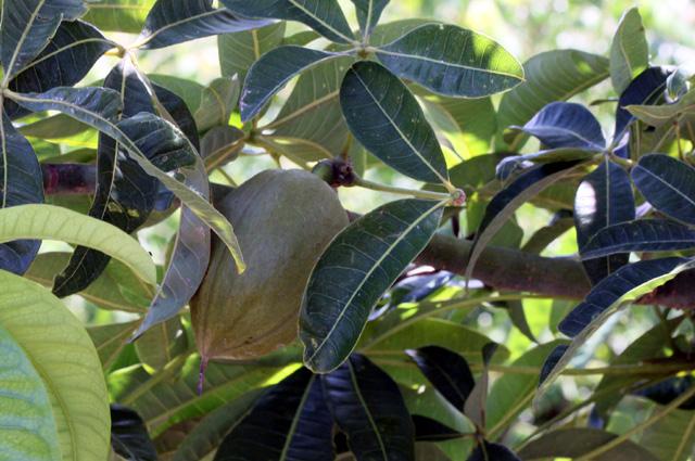 Fruit pistache arbuste. Pachira glabra Pasq.