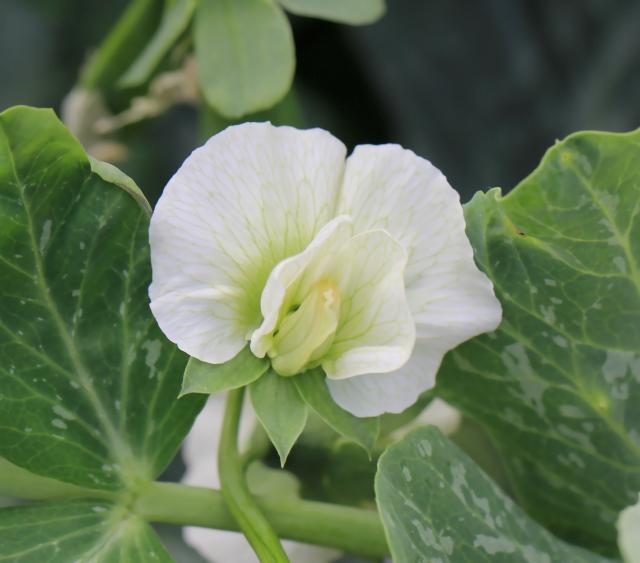 Pisum sativum L. Pois cultivé