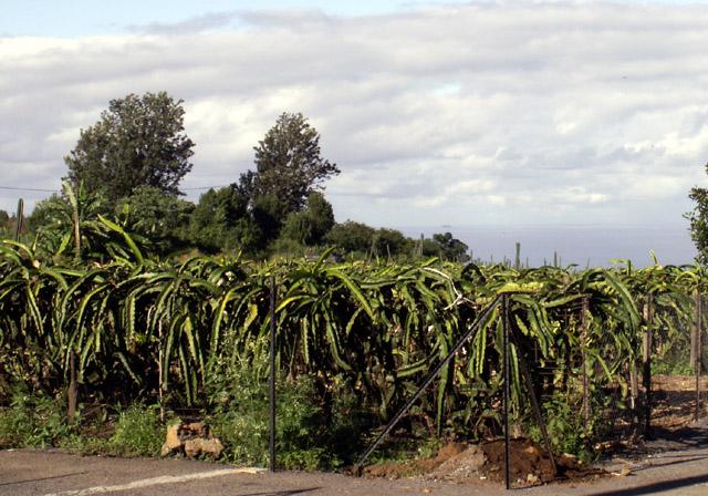 Hylocereus undatus, Pitahaya ou pitaya.