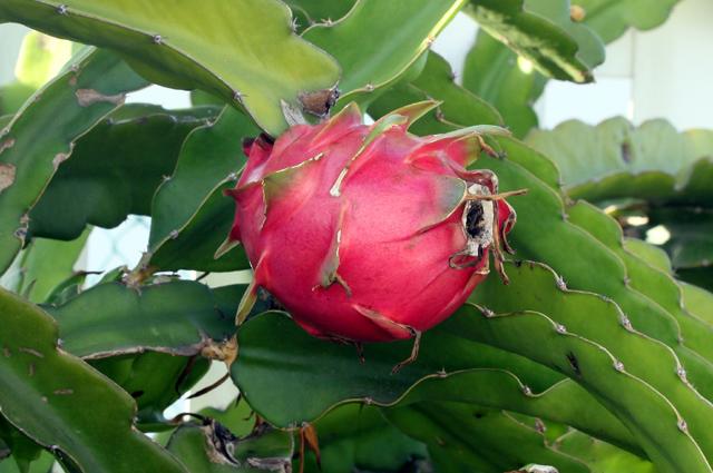 Hylocereus undatus, Pitahaya ou pitaya