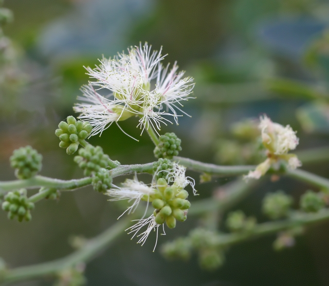 Pithecellobium dulce (Roxb.) Benth.