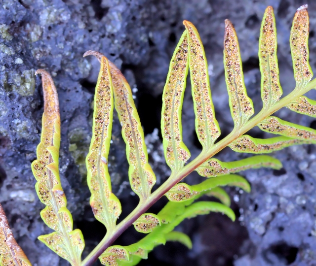 Pityrogramma calomelanos (L.) Link.