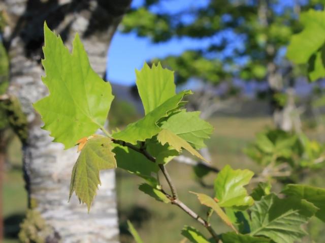 Platane à feuilles d'érable, Platanus x hispanica Mill. ex Münchh