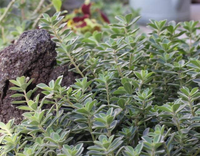 Plectranthus.