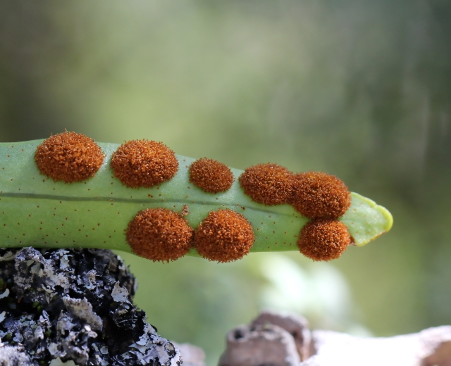 Pleopeltis macrocarpa (Bory ex Willd.) Kaulf.
