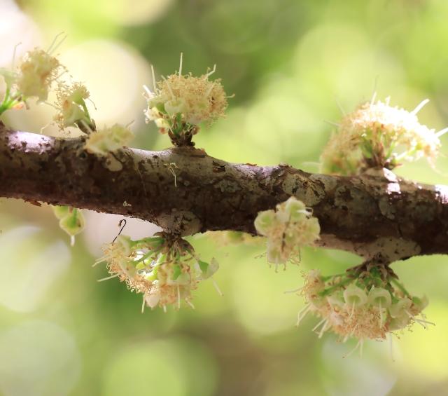 Plinia cauliflora. Jaboticaba.