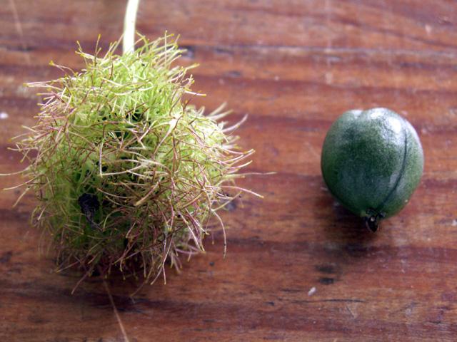 Fruit : Poc-poc ou passiflore poc-poc. Passiflora foetida