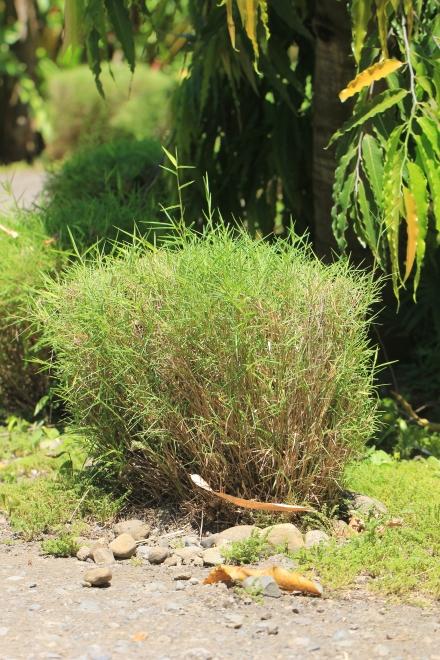 Pogonatherum paniceum (Lam.) Hack.