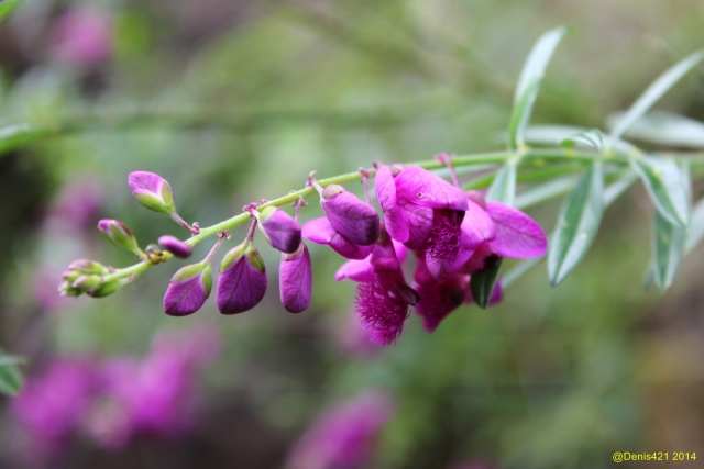 Polygala virgata Thunb. Fleurs.