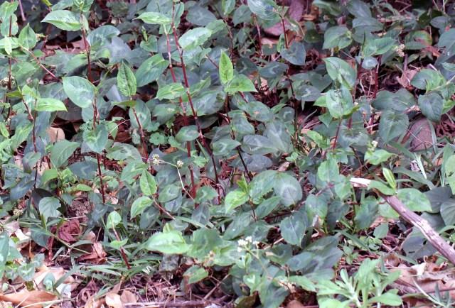 Persicaria chinensis.