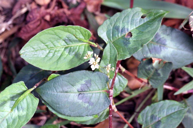 Persicaria chinensis. Renouée du chinois.