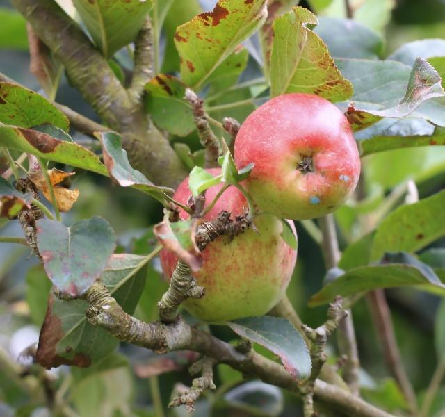 Pommes Malus domestica Borkh.