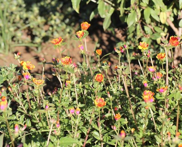 Portulaca grandiflora pourpier grandes fleurs photo for Plante qui aime l ombre
