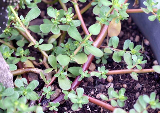 Portulaca oleracea.