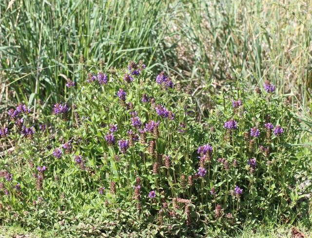 Prunella vulgaris. Herbe Catois. Brunelle commune.
