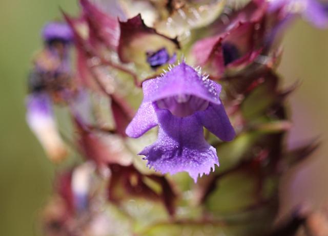 Prunella vulgaris. Fleur.
