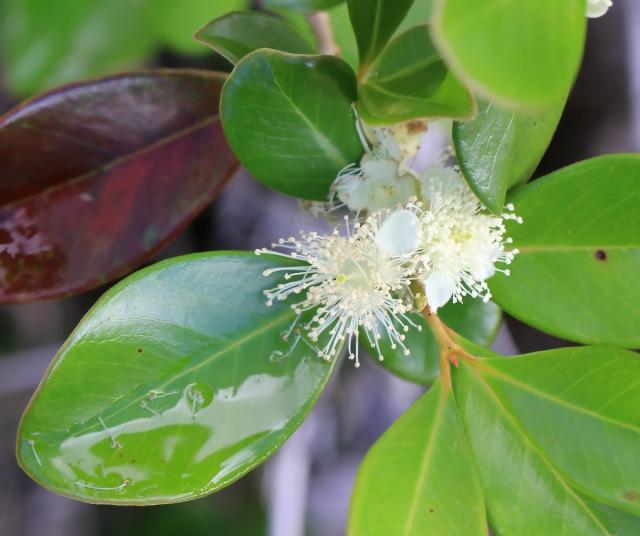 Psidium cattleianum. Fleur.