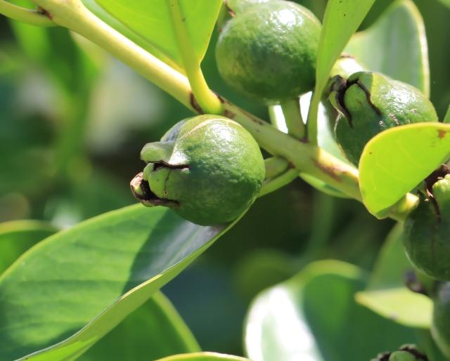 Fruit Psidium guajava L.