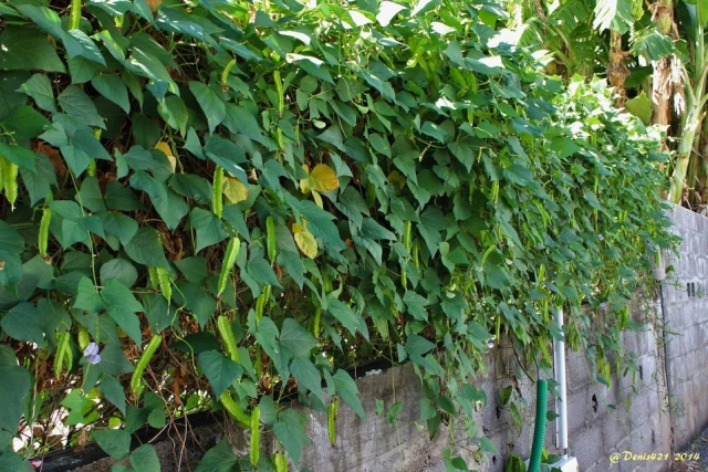 Psophocarpus tetragonolobus (L.) DC.