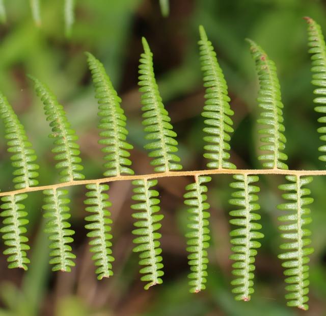 Pteridium aquilinum (L.) Kuhn subsp. capense (Thunb.) C. Chr.