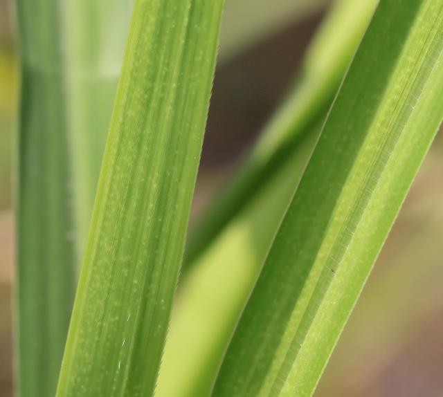 Rottboellia cochinchinensis (Lour.) Clayton.