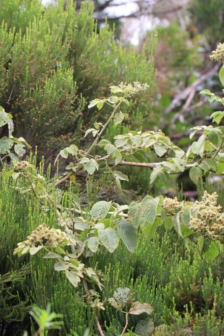 Rubus apetalus Poir. Ronce blanche.