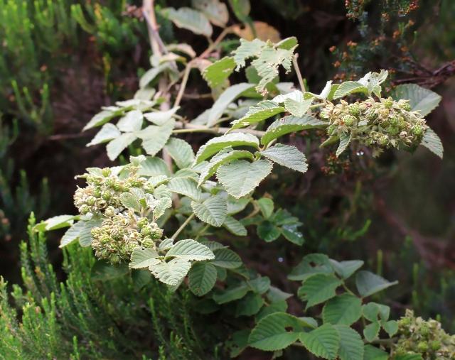Rubus apetalus Poir.