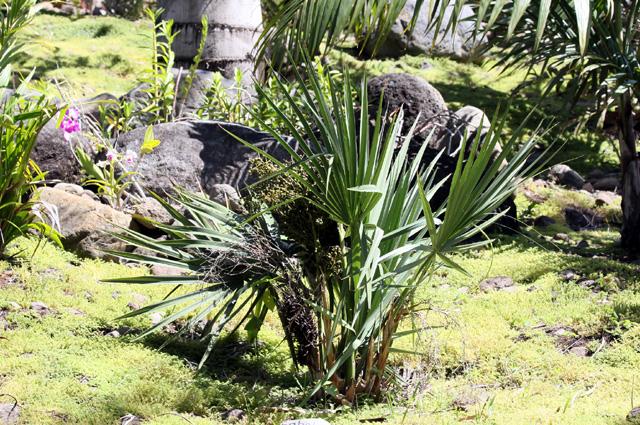Sabal minor (Jacq.) Pers. Palmetto nain ou Sabal nain