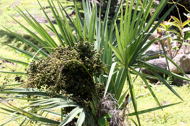 Fruit : Sabal minor (Jacq.) Pers. Palmetto nain ou Sabal nain.