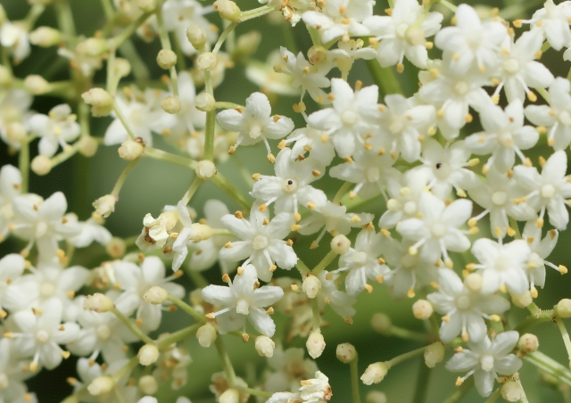 Sambucus canadensis. Fleurs.