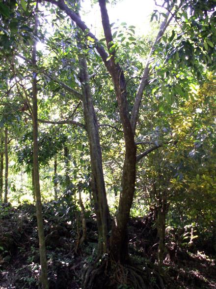 sapotier noir Fruit sapote Diospyros nigra.