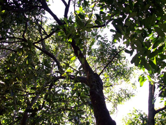 Diospyros nigra. sapotier sapote