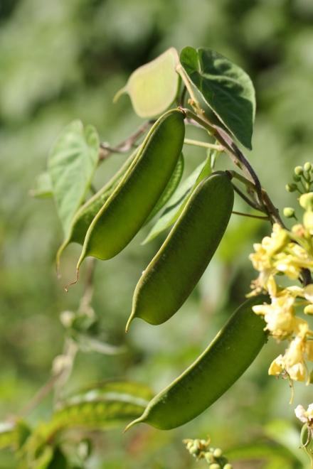 Fruits : Caesalpinia decapetala.