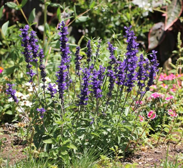Salvia farinacea. Sauge farineuse.