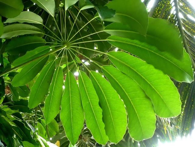 Schefflera actinophylla. Feuilles.