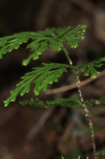 Selaginella fruticulosa (Bory ex Willd.) Spring.