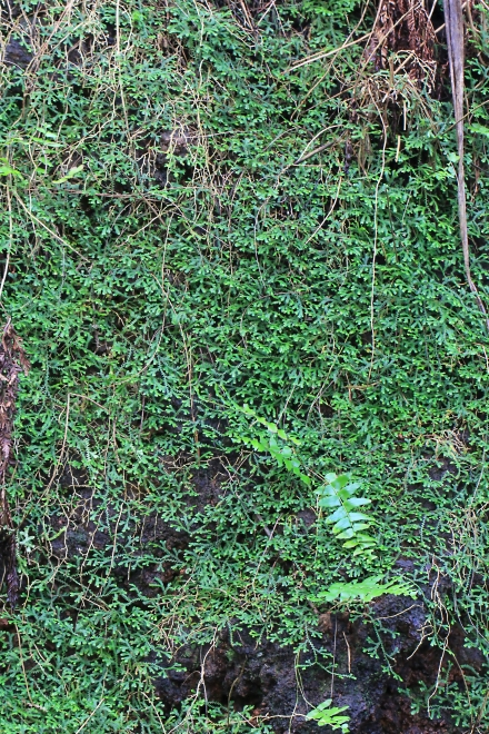 Selaginella obtusa (P. Beauv.) Spring.