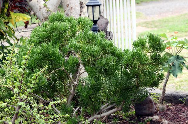 senecio barbertonicus tall succulent botanical pinterest. Black Bedroom Furniture Sets. Home Design Ideas