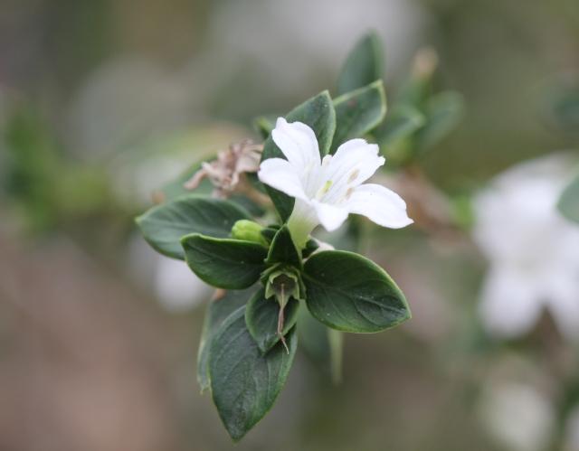 Fleur Serissa japonica.