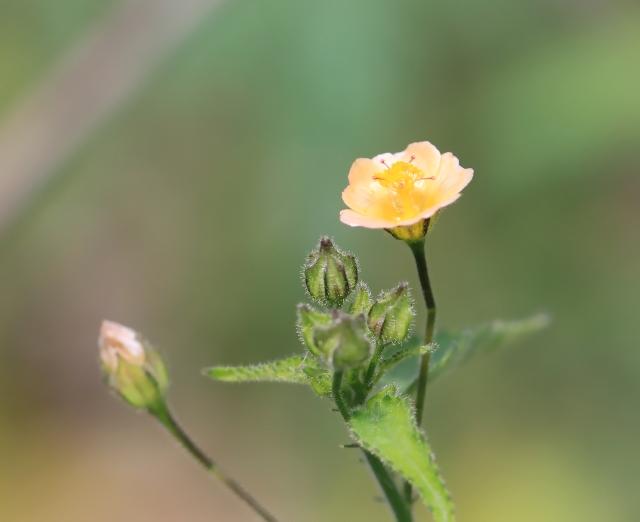 Sida cordata (Burm. f.) Borss. Waalk.
