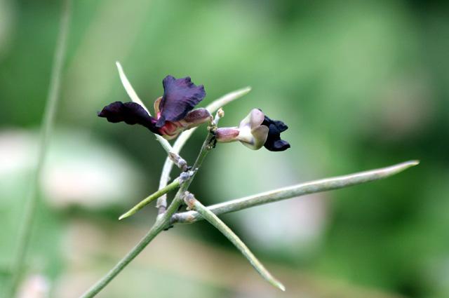 Macroptilium atropurpureum : fleurs et gousses