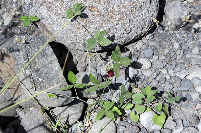 Macroptilium atropurpureum. Siratro