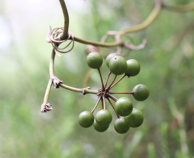Smilax anceps Willd.