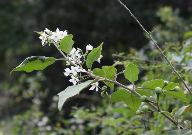 Solanum americanum  Mill, Brèdes morelle ou Brèdes Martin