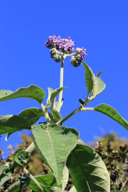 Fruits : Bringellier marron ou tabac marron - Solanum mauritianum