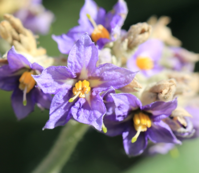 Bringellier marron ou tabac marron - Solanum mauritianum