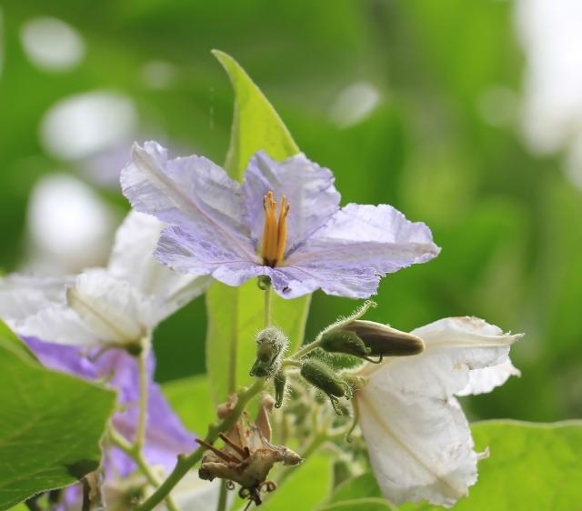 Solanum wrightii Benth.
